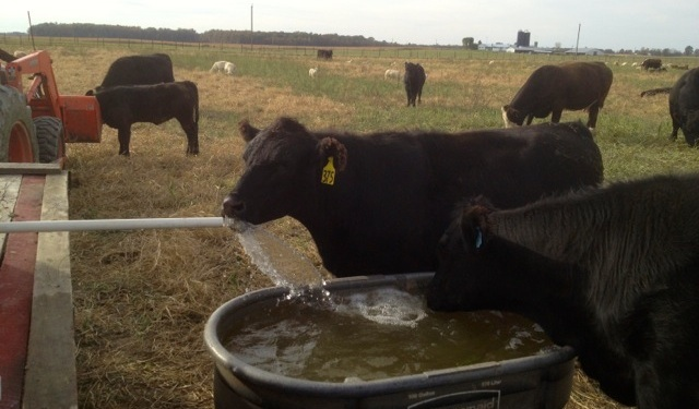 watering cattle